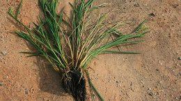 esclerotinia del arroz