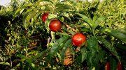 cosecha fruta de hueso