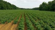 cultivo de la patata