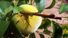 Agroseguro indemnizaciones Murcia