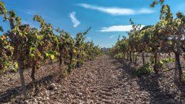 viñedo sequía vendimia incierta