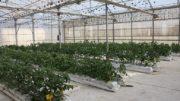 cultivo hidropónico de tomate