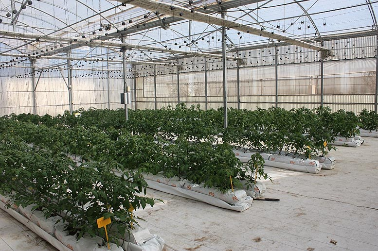 cultivo hidropónico de tomate agroalimentario