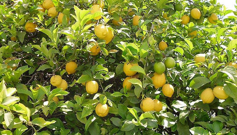 Alicante campaña de limón