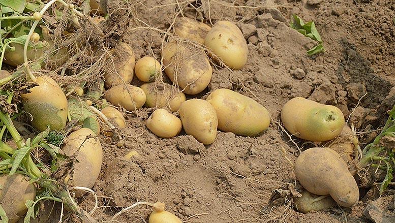 precio en origen de la patata