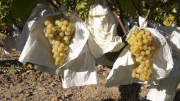 embolsado uva Vinalopó