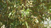 destrucción árboles bacteria Xylella Guadalest
