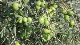 cosecha de aceituna