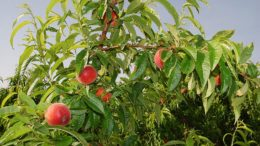 Stone Fruit Attraction 2017