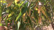 Xylella fastidiosa