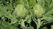 producción de hortalizas en Alicante
