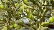 Andalucía destina más de dos millones al desarrollo de proyectos innovadores en el olivar