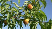 melocotón y nectarina