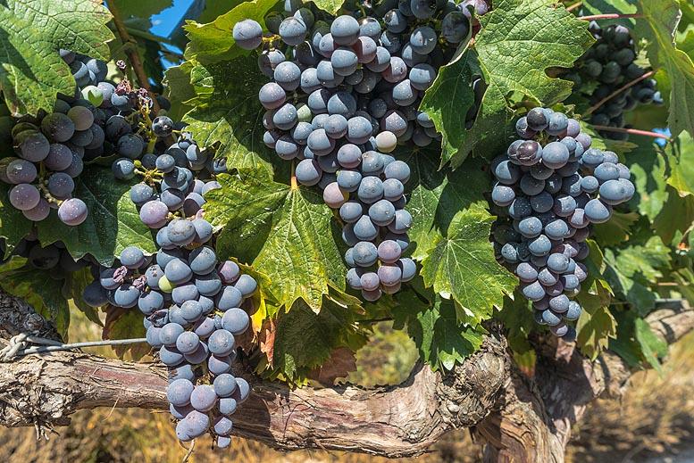 restructuración y reconversión de viñedos