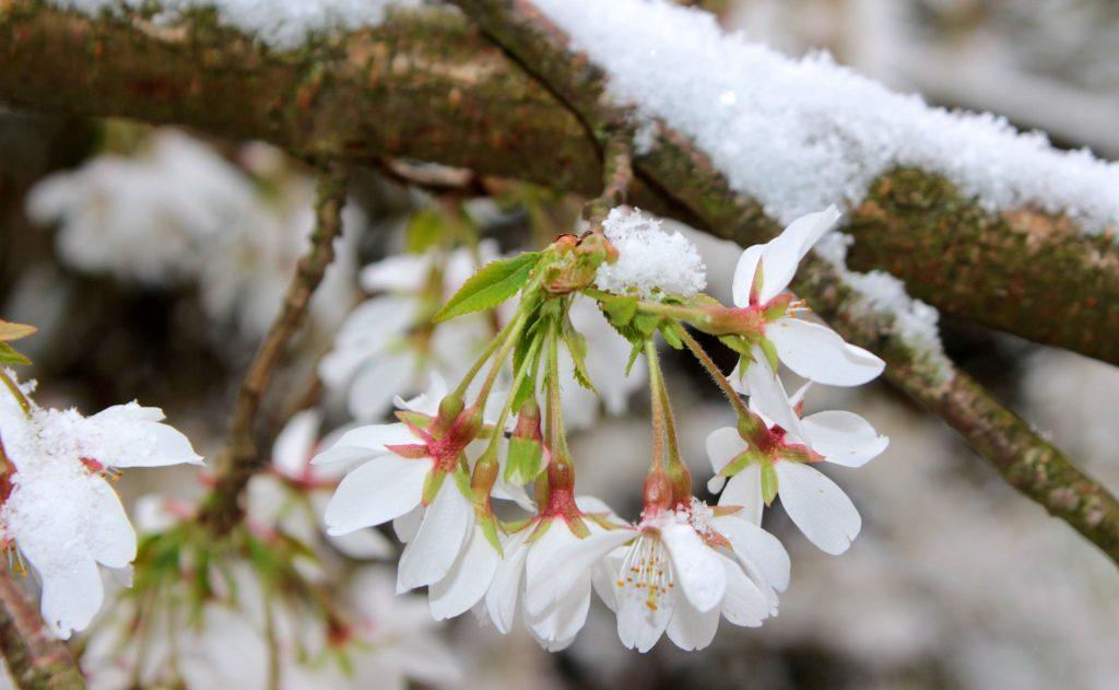 cerezo en flor nieve