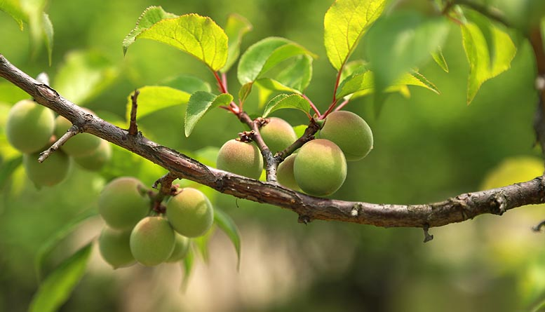 fruta en Extremadura