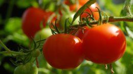 genes tomates