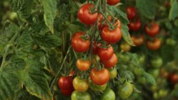 Tomate campo