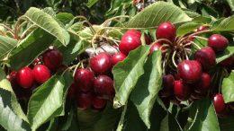 Cherrycare