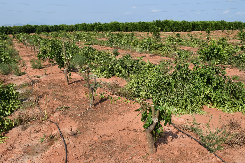 Eliminación árboles de mandarina Orri