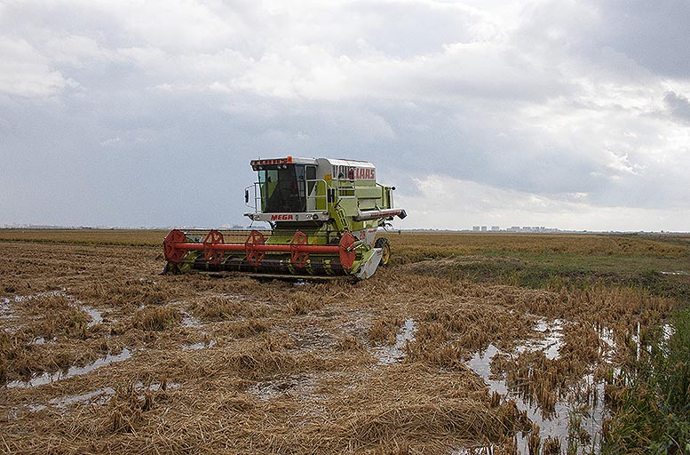 fangueo de arroz