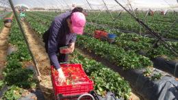 fresas Huelva