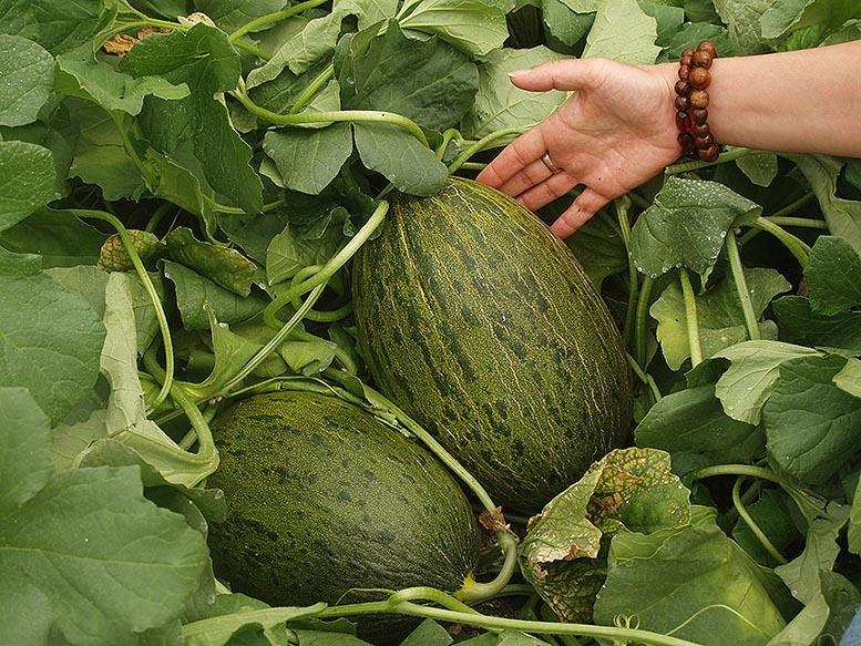 melón murcia