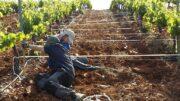 cultivos vitivinícolas