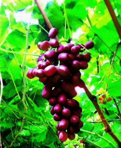 SanLucar uva ecuatoriana