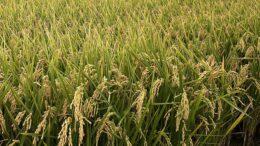 arroz de Camboya y Birmania