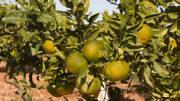 sector citrícola
