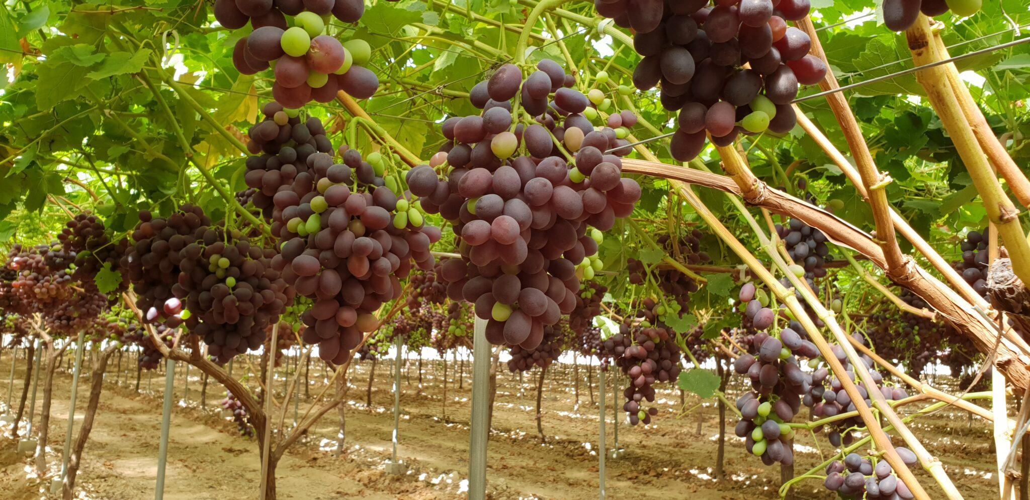 Murcia uva de mesa
