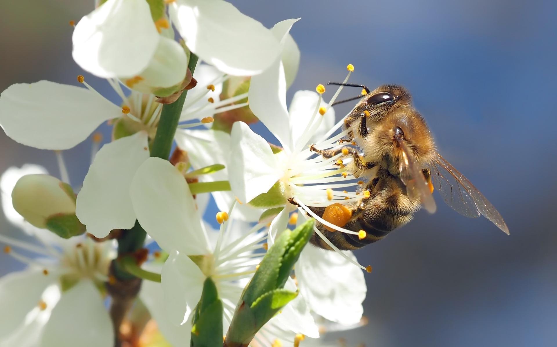 miel cerezo apícola