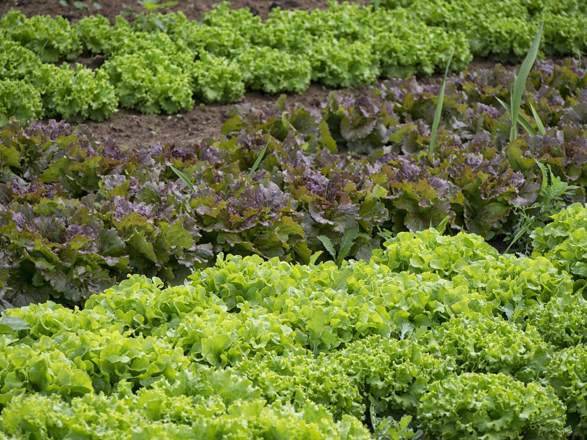 huerto hortalizas verduras