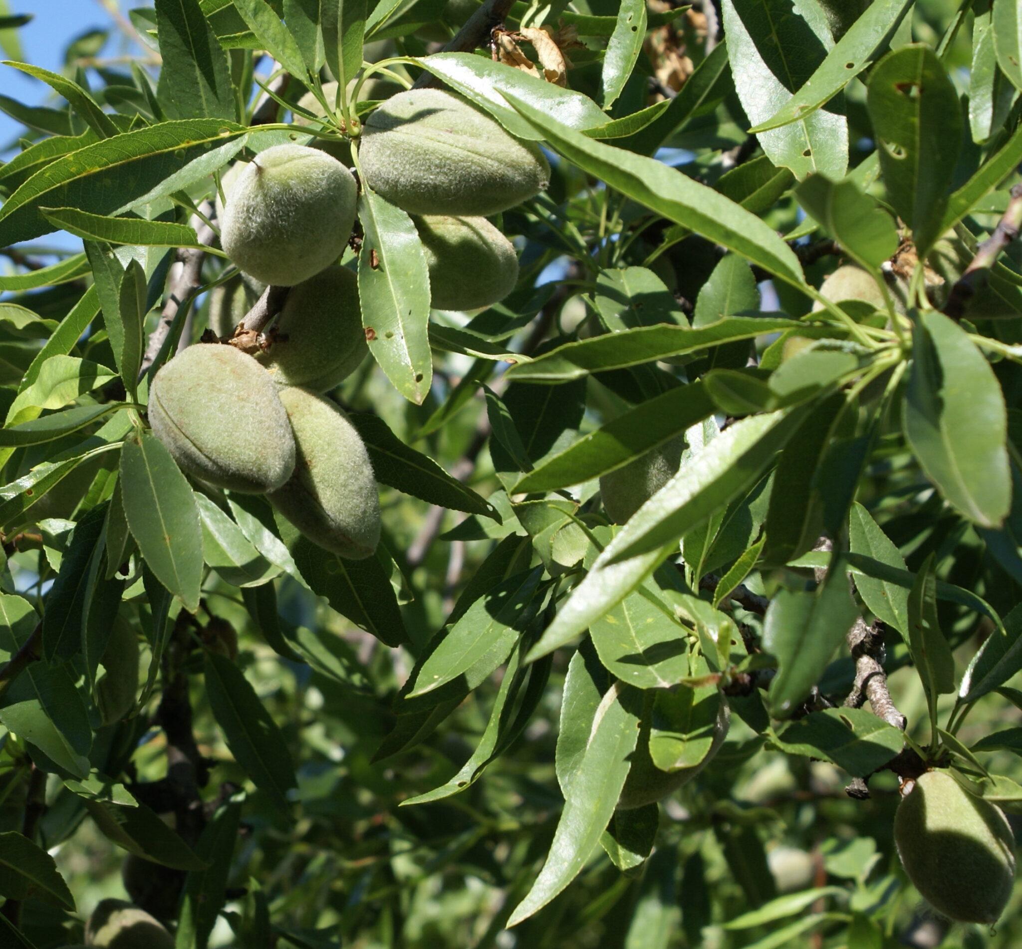 Córdoba cosecha almendra