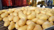 patata extratemprana
