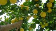 precios limón Verna