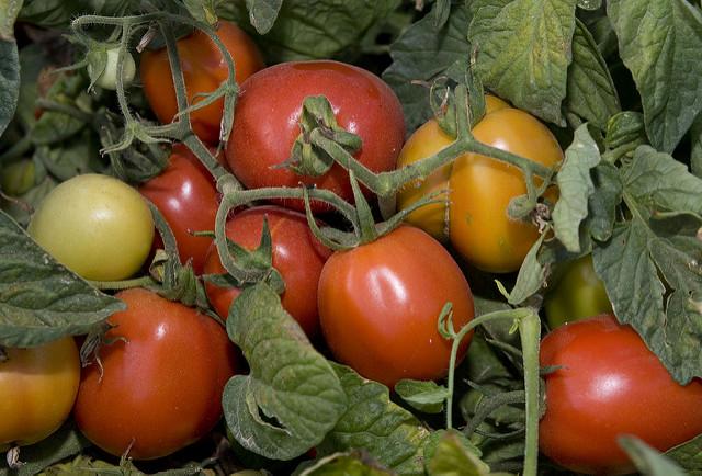 tomate en extremadura