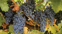 Viticultura Castilla-La Mancha