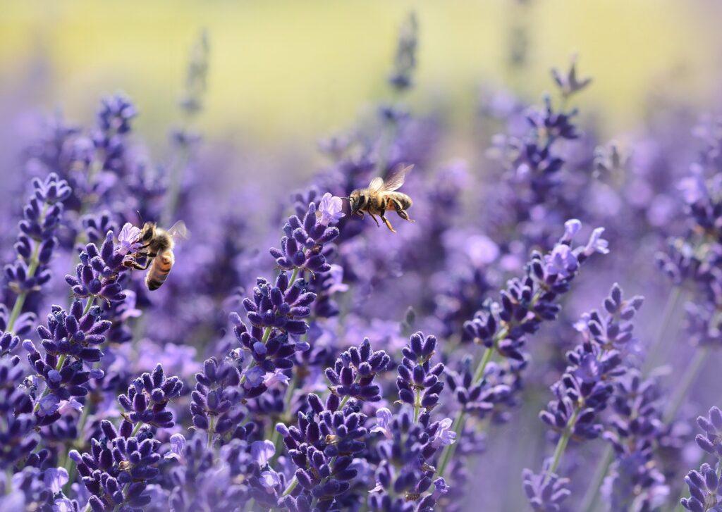 aromáticas alcarria abejas espliego