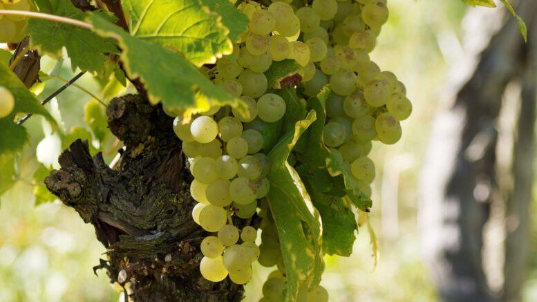 viñedo vino