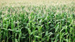 maiz primitivo