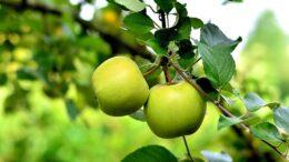 cosecha de manzana