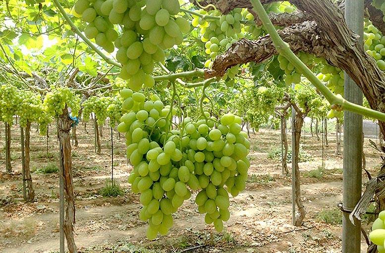 uva de mesa española