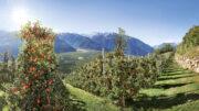 Manzanas Val Venosta concluye su cosecha