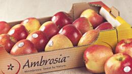 Ambrosia nueva campaña