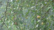 manzana lluvia temporal