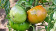 virus del tomate