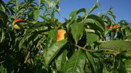 cosecha de la fruta en Cataluña