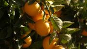 Exportaciones citrícolas a países terceros